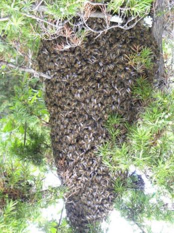 grappe d'abeilles